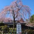 デコ屋敷の桜も咲きま…