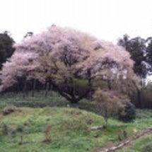桜がちり始めました!