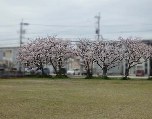 原っぱの桜