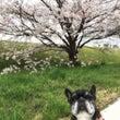 あんじと桜