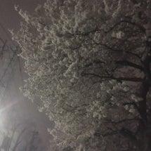 柳瀬川 そろそろ桜吹…