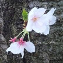 桜とラーメン