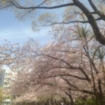 公園で花見ランチ♡