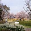 桜が満開   鈴鹿フ…