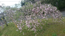 20160406枝垂れ桜