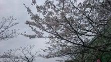 20160406新田神社 桜