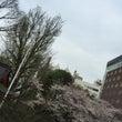 もうすぐ葉桜。