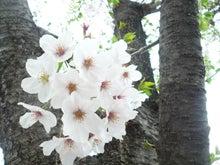 2016年二子玉川桜