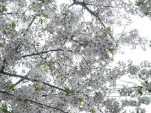 2016年二子玉川桜2