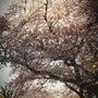 Cherry tre…