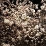 桜真っ盛り!目黒川