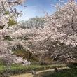 三島の桜、満開~!