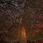 夜桜2016