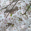 今年の桜も綺麗でした…