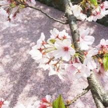 京都はまだまだお花見…