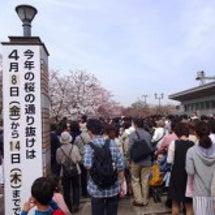 大阪造幣局桜の通り抜…