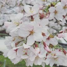 京都でお花見♪