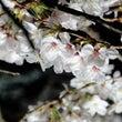 「春の願い」…