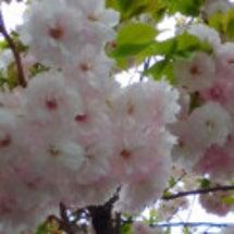 よく見る桜?