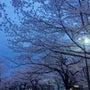 桜が散りはじめ…