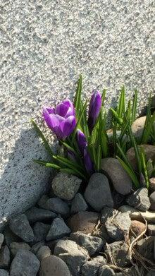 北海道クロッカス花画像