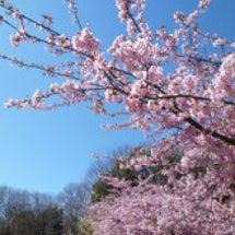 桜便り -2016-
