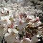 桜のある風景~日本人…
