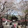 4月は桜、桜、桜