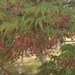 初めて見た「紅葉の花…