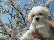 麦ちゃんお初の桜