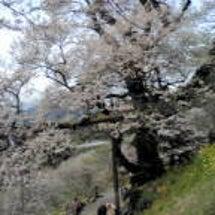 500年の桜と寄り添…