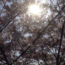 桜に思いを馳せる