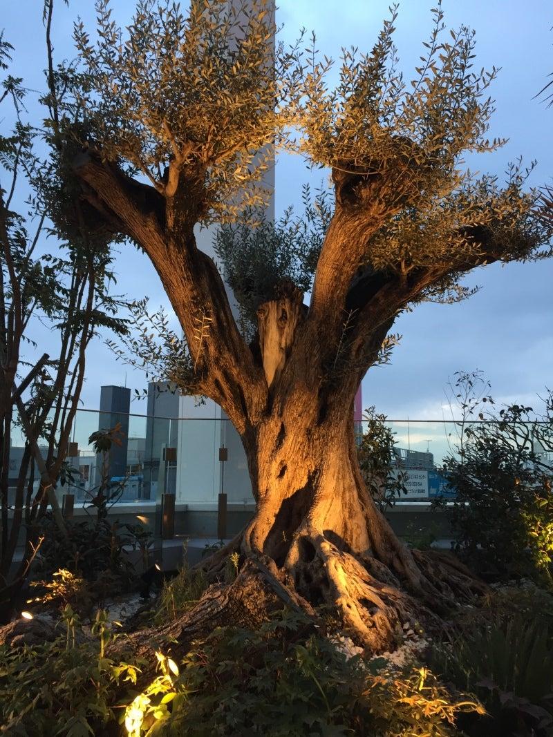 ライトアップされるオリーブの木