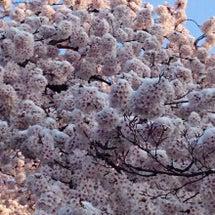 満開の桜に雪が・・