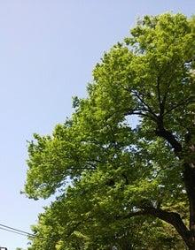 新緑の欅-02
