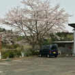 石岡工場の桜が満開!