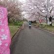寒河江の桜