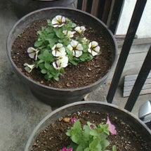 花壇植え替え!