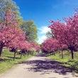 Kölnの桜。