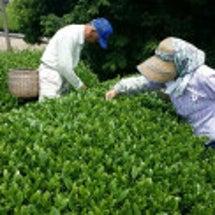 静岡は牧之原市の茶園…