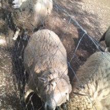 羊さんが、毛刈りさん…