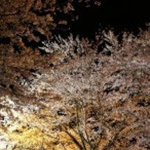 牛久シャトー 夜桜(…