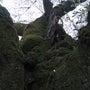 美しい苔と桜の古木