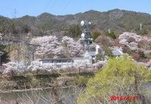 4/11 大桑村須原発電所 桜