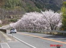 4/11 上松町荻原 桜