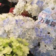 アジサイ【万華鏡】