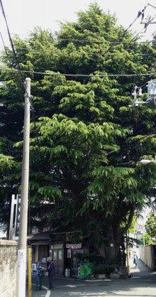 160501_12時35分53-ヒマラヤ杉2