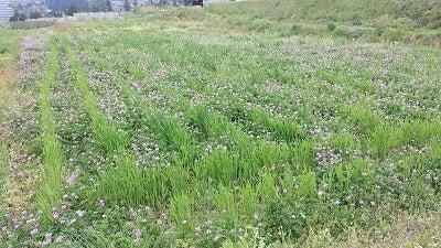 麦畑とれんげ
