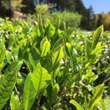 お茶摘みと田植え