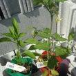 ベランダ菜園❣️